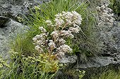 Saxifrage flowers - Val di Gressoney Alps Italy