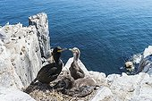 European Shag on chicks at nest on cliff - British Isles