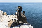 Cormoran huppé et jeunes au nid - Iles Britanniques