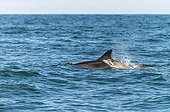 White-beaked dolphin swimming at surface - Scotland
