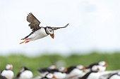 Atlantic Puffins flying - British Isles
