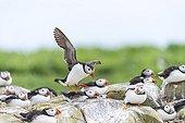 Atlantic Puffins landing - British Isles
