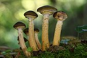Honey mushroom in the undergrowth - Aquitaine France ; Near a stream in a small wood. <br>Edible Mushroom when young.