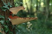 Beefsteak fungus on Oak trunck - Aquitaine France ; Edible when young, even raw.