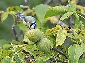 Blue Tit eating a nut - France