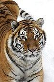 Portrait of Siberian Tiger on snow