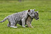 Young White Tigers in the grass