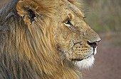 Portrait of Male Lion - Masai Mara Kenya