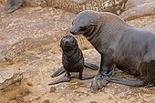 Cape Fur Seal and young - Cape Cross Namibia