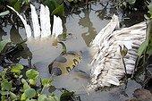 Green anaconda catching a Wood Stork - Llanos Venezuela