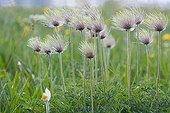 White Pasque Flower - Vosges France