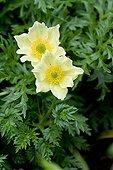 Sulfur Pasque flowers - Vosges France ; Jardin d'altitude du Haut-Chitelet