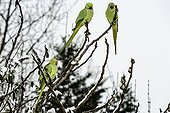 Ring-necked parakeets on a branch in winter - France