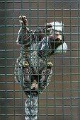 Common Marmoset  - Zoo Berlin Germany
