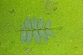 Rowan leaf on Duckweed