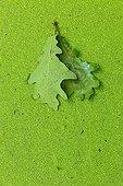 English Oak leaf on Duckweed