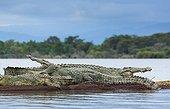 Nile Crocodiles on bank - Lake Chamo Ethiopia