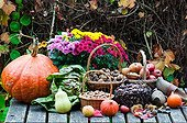 Récolte de fruits secs et légumes dans un jardin en automne ; Courge 'Butternut'. Chicorée 'Cariegata-di-Chioggia'