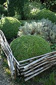 Hedge laying and box topiaries in a garden