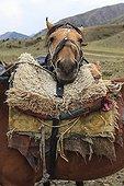 Cheval Kirghiz reposant sa tête sur une selle - Kirghizistan