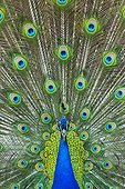 Male Indian Peafowl displaying - Zoo Berlin Germany