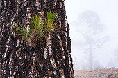 Canary Island pine in the mist - Corona Forestal Tenerife