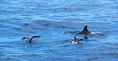 Cory's shearwaters and Dolphin swimming surface - Canary
