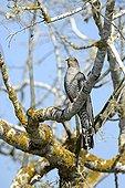 Common Cuckoo on a branch - Danube Delta Romania