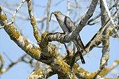Common Cuckoo on a branch - Danube Delta Romania ; catching a caterpillar