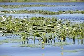 White Water Lily and Yellow Water Lily - Danube Delta Romania