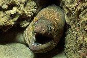 Gobies nettoyant une Murène châtaigne - Mer de Cortez