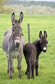 Donkey and colt in an orchard in spring - France