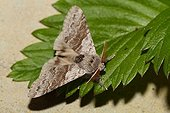Pale Tussock on a leaf - France