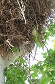 Monk Parakeet nesting in a nest Stork - Spain