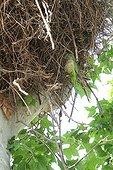 Conure veuve nichant dans un nid de Cigogne - Espagne