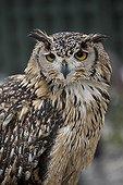 Portrait of European Eagle Owl - Scotland UK