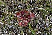 Round leaved sundew - Isle of Lewis Scotland UK