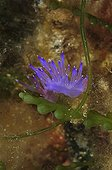 Purple Nudibranchin reef - French Riviera France ; Diving site of the Pyramide