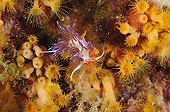 Pilgrim hervia in reef - French Riviera France ; Diving site of Lion de mer