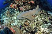 Nurse shark on the reef -