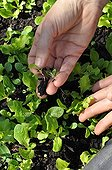 Thinning of lettuces in a kitchen garden