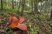 Rafflesia opening - Bukit Barisan Selatan Sumatra