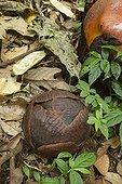 Rafflesia bud - Bukit Barisan Selatan Sumatra