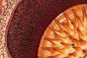 Detail of Rafflesia flower - Bukit Barisan Selatan Sumatra