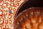 Fly on Rafflesia flower - Bukit Barisan Selatan Sumatra