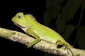 Chameleon Forest Dragon on a branch - Bukit Barisan Selatan