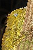 Chameleon Forest Dragon on a trunk - Bukit Barisan Selatan