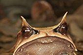 Portrait of Malayan Horned Frog  - Bukit Barisan Selatan