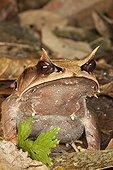 Malayan Horned Frog on dead leaves - Bukit Barisan Selatan