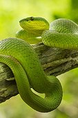 White-lipped Island Pit Viper on a branch - Komodo Indonesia